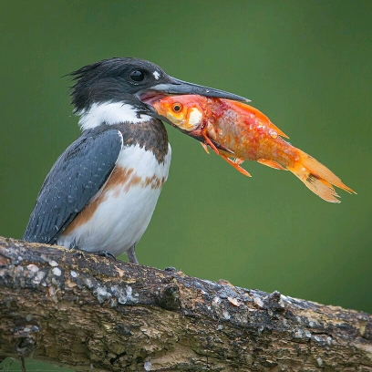 kingfisher pic of the year